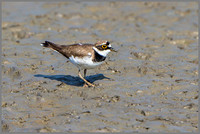 Little Ringed Plover (Charadrius dubius).