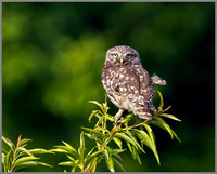 Little Owl, Bittell, June 2010