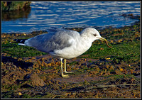 Common Gull, Norfolk, September 2012