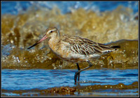 Bar-tailed Godwit, Norfolk, September 2012