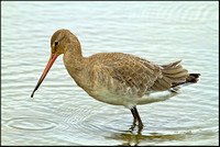 Black-tailed Godwit, Norfolk, September 2012