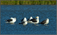 Great Black-backed Gulls, Norfolk, September 2012