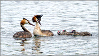 Great Crested Grebes (Podiceps cristatus), Upton Warren NR, August 2014_0027