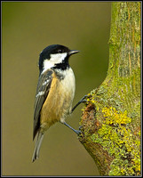 Coal Tit (Periparus ater), 07 November 2012