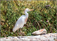 Cattle Egret (Bubulcus ibis), Mallorca, May 2015