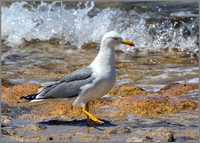 Yellow-legged Gull (Larus michahellis), Mallorca, May 2015