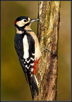 Great Spotted Woodpecker (Dendrocopus major), Bromsgrove, 18 November, 2012