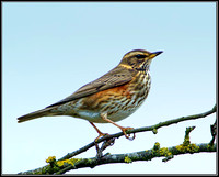 Redwing (Turdus iliacus), Upton Warren, 27 November 2012