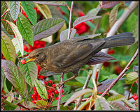 Female Blackbird (Turdus merula), 15 December 2012