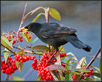 Male Blackbird (Turdus merula), 15 December 2012