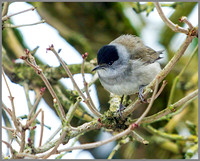 Blackcap (Sylvia atricapilla), Garden, 19 January 2013