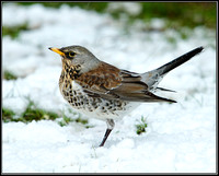 Fieldfare (Turdus pilaris), Garden 20 January 2013