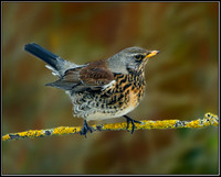 Fieldfare (Turdus pilaris), Garden, 22 January 2013