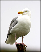 Herring Gull, Anglesey, July 2009