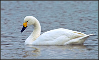 Bewick's Swan (Cygnus columbianus), Slimbridge WWT, 28 February 2013