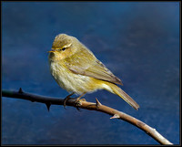 Chiffchaff (Phylloscopus collybita), Forest of Dean, 03 April 2013