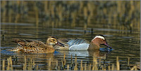 Garganey Ducks (Anas querquedula), Forest of Dean, 03 April 2013 w4