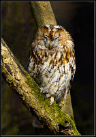 Tawny Owl (Strix aluco), Worcestershire, 05 April 2013