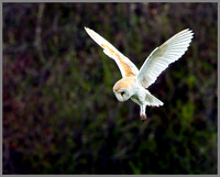 Barn Owl (Tyto alba), Norfolk, April 2013