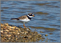 Ringed Plover (Charadrius hiaticula), Upton Warren, 07 May 2013