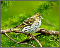 Siskin, Ceredigion, 20 May 2011
