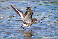 Black-tailed Godwit (Limosa limosa), Upton Warren NR, 30 July 2015