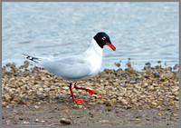 Mediterranean Gull (Larus melanocephalus), Upton Warren 15 May 2013