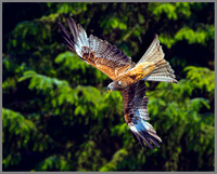 Red Kite (Milvus milvus), Wales, July 2013