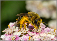 Honey Bee (Apis mellifera), Warwickshire, July 2014