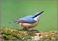 Nuthatch (Sitta europaea), Wales, 22 May 2013