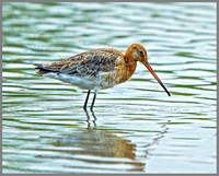 Black-tailed Godwit (Limosa limosa), Slimbridge, June 2013