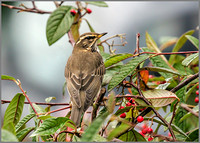 Redwing (Turdus iliacus), Garden, January 2016360