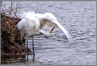 Great White Egret (Ardea alba), Upton Warren NR, December 2015