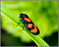 Red and Black Froghopper (Cercopis vulnerata), Monk Wood, 18 June 2013