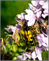 Spotted Longhorn Beetle (Rutpela maculata), Coseley Wood, July 2013
