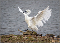 Little Egret (Egretta garzetta), Upton Warren NR, September 2015