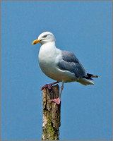 Herring Gull (Larus argentatus), Slimbridge, June 2013