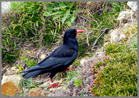 Chough (Pyrrhocorax pyrrhocorax), Anglesey, June 2013