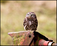 Little Owl, Mid-Wales Falconry Centre, February 2009