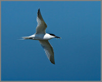 Sandwich Tern (Sterna sandvicensis), Anglesey, June 2013