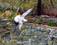 Fulmar (Fulmarus glacialis), Anglesey, April 2014