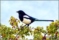 Common Magpie (Pica pica), Upton Warren NR, September 2015