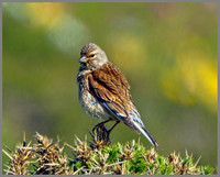 Female Linnet (Carduelis cannabina), Anglesey, June 2013