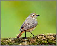 Female Redstart (Phoenicurus phoenicurus), Wales, 22 May 2013