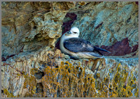 Fulmar (Fulmarus glacialis), Anglesey, June 2013