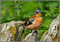 Male Chaffinch (Fringilla coelebs), Wales, July 2013