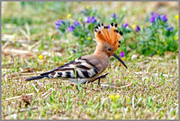 Hoopoe (Upupa epops), Mallorca, May 2016