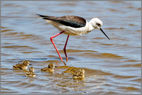 Black-winged Stilt (Himantopus himantopus), Mallorca, May 2016