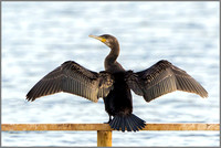 Juvenile Cormorant (Phalacrocorax carbo), Upton Warren, November 2014 w