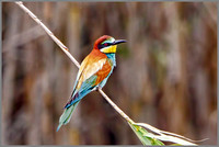 European Bee-eater (Merops apiaster), Mallorca, May 2016